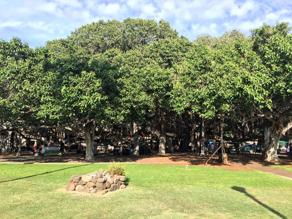 Maui-Banyan-Tree